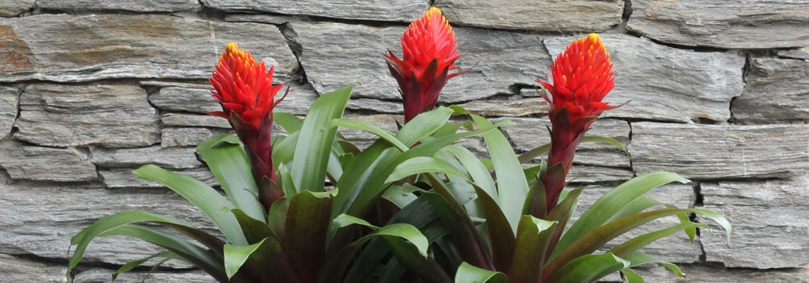 Bromeliad Banner Picture2.jpg