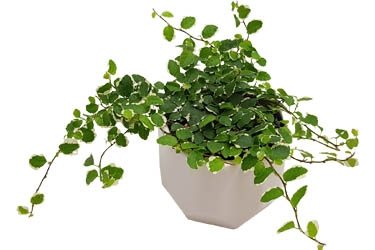 12cm Ficus Frosty in White Ceramic.jpg