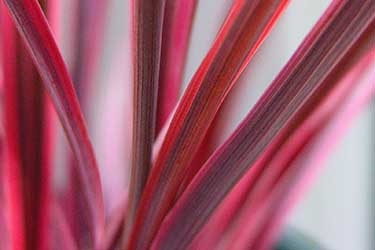 CordylineElectricPink.jpg